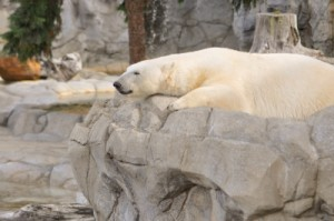 U.S. Senate Report Debunks Polar Bear Extinction Fears