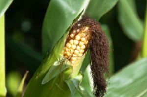 Biofuels Forcing World to Ration Food Aid