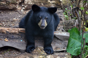 Stop the Bear Hunt?