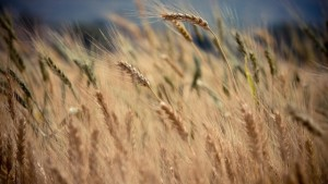 Whither Global Food Shortage Predictions?