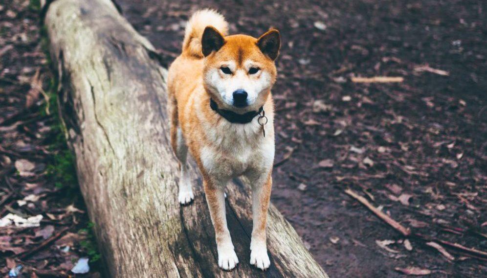dog for vantassel article