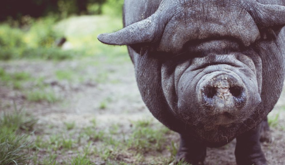 unsplash pig