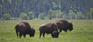 Where the Buffalo Roamed—and Roam Again