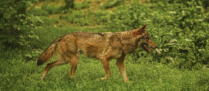 Canine Predator Control Devices: Should We Use them?