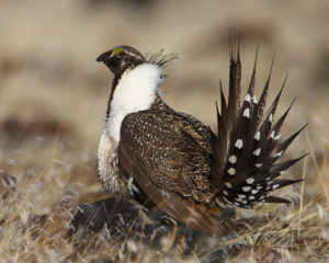 Why do Ranchers Grouse about Federal Regulations to Protect Sage Grouse?