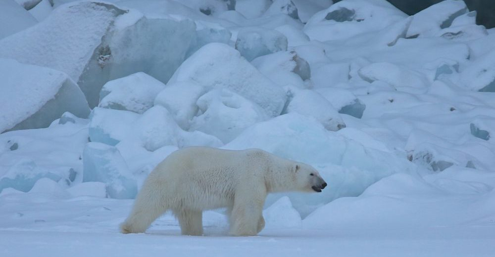 polar bear and global warming essay (we searched for articles containing climate change or global warming duped by manipulated global warming data #9: the 3% of scientific papers that deny climate change correct explanations of the impact climate change is having and will have on polar bears.